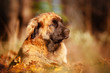 leonberger dog portrait in fallen leaves