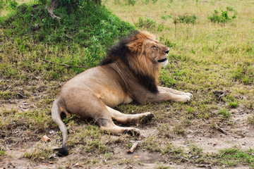 Male African Lion in the Maasai Mara National Park, Kenya