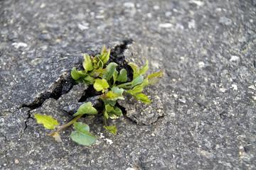 Pflanze durchbricht Strassendecke