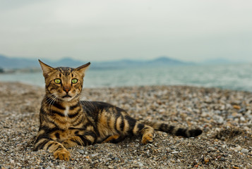 Bengal cat lying on the sandy beach and looking straight