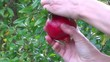 harvesting a pomegranate