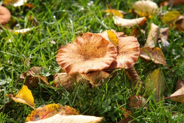 Orange muschrooms, green grass and the yellow leaf