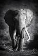 Fototapeten,elefant,bull,männlich,huge