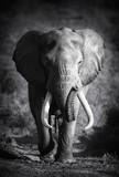 Fototapety Elephant Bull (Artistic processing)
