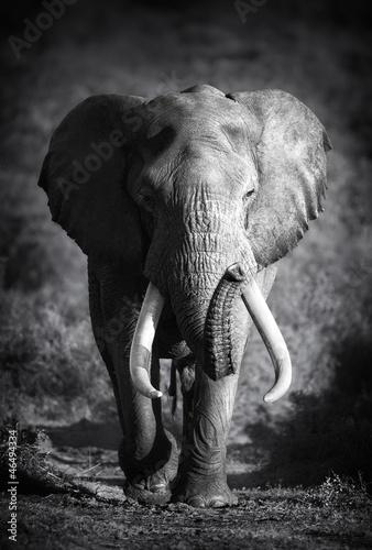 Elephant Bull (Artistic processing) - 46494334