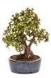 Jadebaum als Bonsai