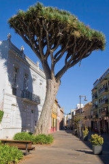 Dragon Tree in La Laguna