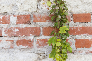 Red brick wall background with plant
