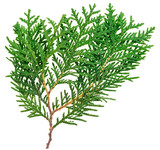 Fototapety Thuja twig isolated on white, closeup view