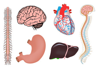 human heart, liver, stomach and brain medicine illistration