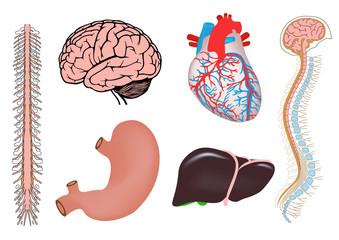human heart, liver, stomach and brain medicine illistration