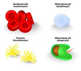 blood cells. Vector