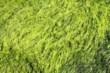 Green seaweed background