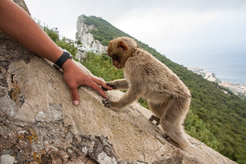Ape of Gibraltar shaking hand with tourist