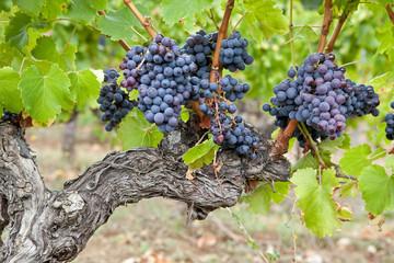 Grappes de raisin sur pied de vigne #2