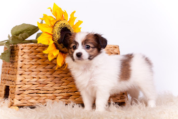 Papillon Puppy (Continental Toy Spaniel), on white