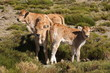 young calves in field