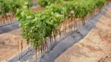 Young Vineyards in rows. Seedlings vines.Graft of the vines.