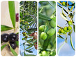 olive harvesting collage