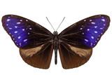 brown, blue and purple butterfly species Euploea Mulciber