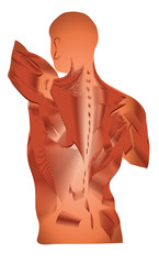 Muscles, human back