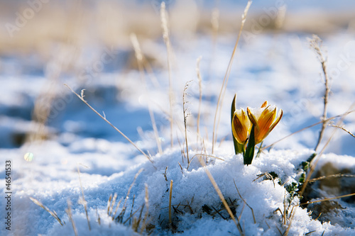 yellow snowdrop in high mountain valley