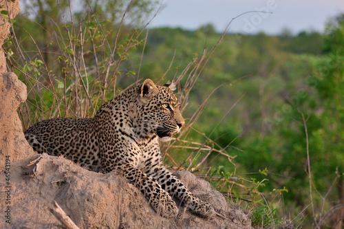 Aluminium Luipaard african leopard