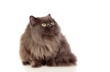 Adorable Persian cat looking up
