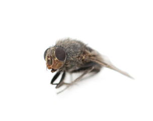 Home fly on a white background. macro
