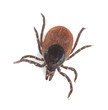 Tick isolated on white background, extreme close-up