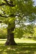 Single oak in sunlit park