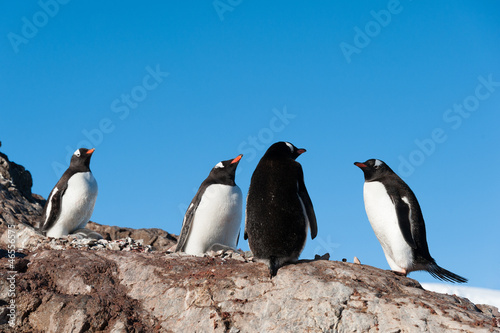 Gentoo penguins near the mountain