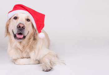 Golden Retriever xmas dog