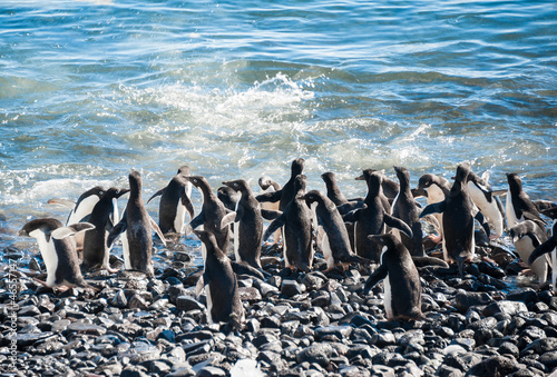 Colony of Gentoo penguins on the beach