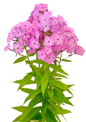 Bouquet of pink phlox