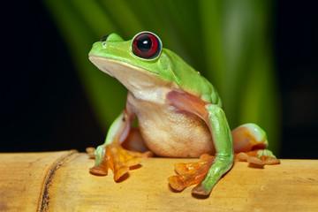 flying tree frog Agalychnis spurrelli
