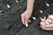 Senior woman planting garlic