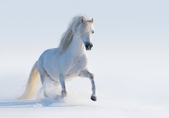 Galloping white Welsh pony