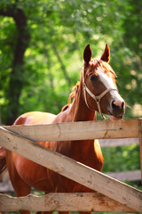Ginger horse on farm. Outdoors