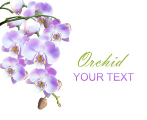 bright lilac orchids isolated