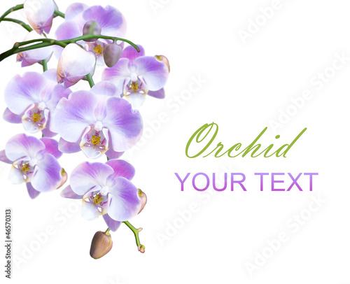 Fototapeten,orchidee,isoliert,hintergrund,blume