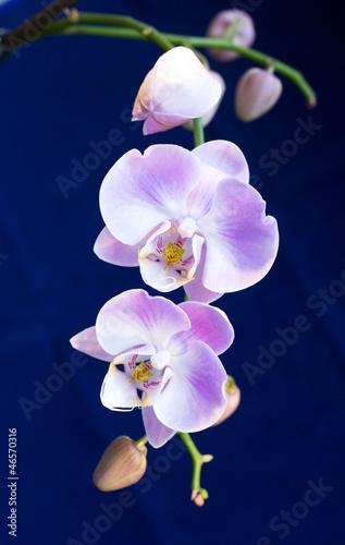 Fototapeten,orchidee,hintergrund,blume,tropisch