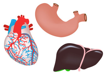 human heart, liver, stomach and heart vector illustration