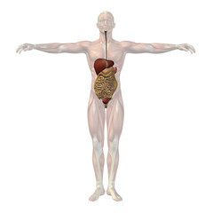 High resolution conceptual human 3D digestive system