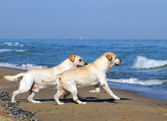 two yellow labradors running to the sea