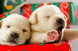 Christmas - cute labrador puppies for Christmas gift