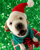 Christmas - cute labrador puppy in Santa hat