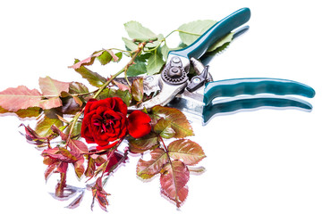 Garden pruner and red rose