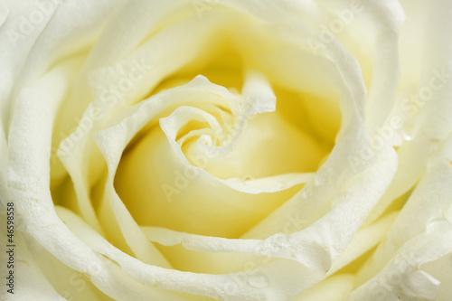 Fototapeta Beige rose close up