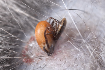Mating ticks on cat, extreme close-up with high magnification